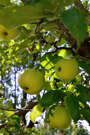 Green apples ripen on an apple tree among the leaves 免版税图像