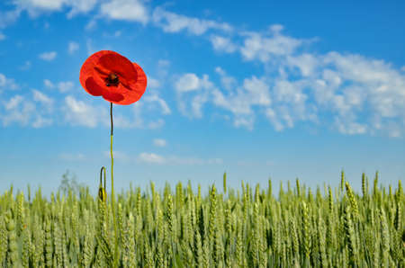 Lonely red poppy in a field of green wheat on a background of blue sky