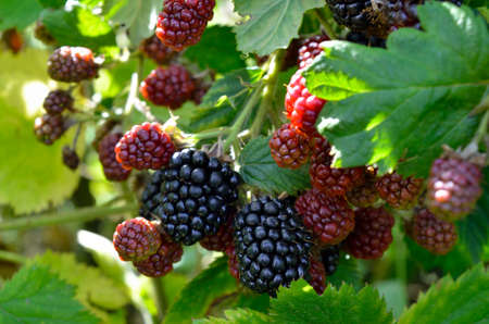 Large blackberries ripen in the garden. Harvest berries in the summer season. 免版税图像