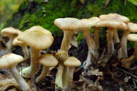 Young, wild mushrooms grow among the moss in the autumn forest.
