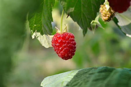 One raspberry ripe among green leaves in the garden