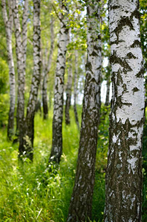 White trunks of birch trees in a green grove in summer