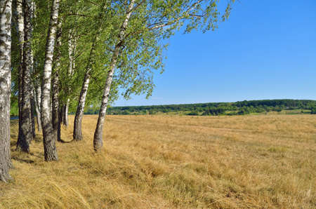Birch grove in a field against a blue sky