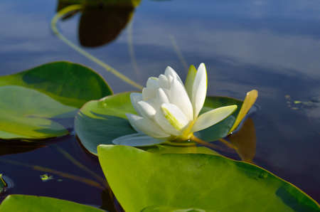 White water lily blooms in a pond among the leaves