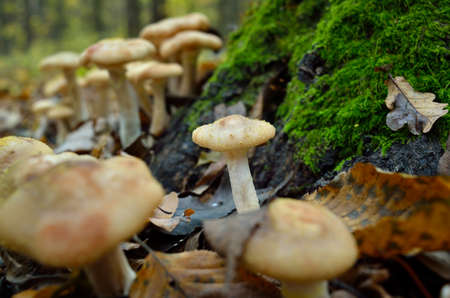 Wild forest mushrooms grow in the autumn forest