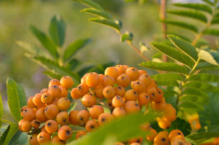 Unripe rowan berries ripen among green leaves