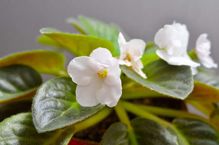 Young houseplant of white violets in a flower pot 免版税图像