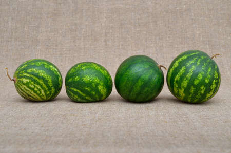 Watermelons are in a row on a rough burlap