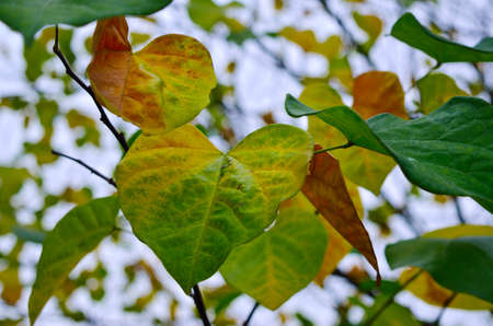 Yellow and red leaves on trees in autumn park. Abstraction of colorful autumn leaves 免版税图像