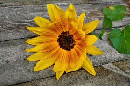Yellow, decorative sunflower on old wooden boards