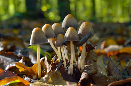 Inedible, mushrooms grow in the autumn forest 免版税图像