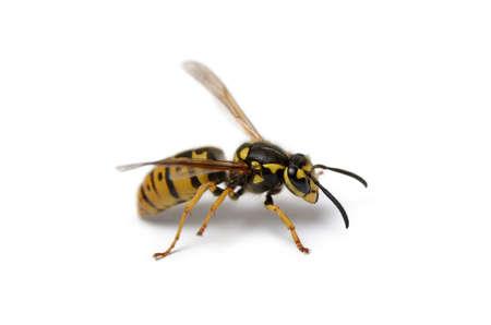 Big wasp isolated on white background, close up