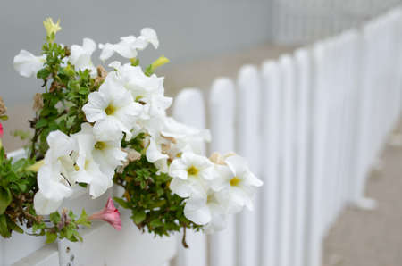 Large flowers of white petunia in a pot close up