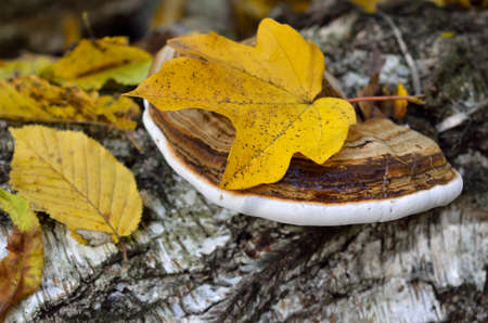 Polypore grows on the trunk of tree in autumn forest 免版税图像
