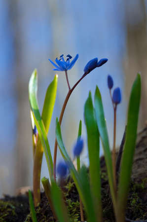 Blue Scilla bifolia blooms in early spring in the forest