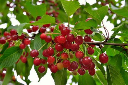 Red sweet cherries ripen in the garden. Harvest berries in the summer season