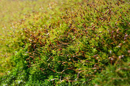 Young, green moss in the forest close up