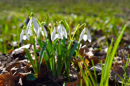 Young snowdrops in early spring in the forest