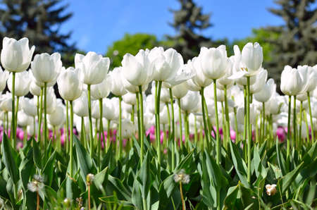 Young tulips bloomed in the park in spring 免版税图像