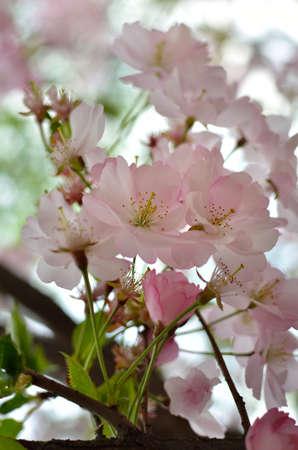 Sakura flowers bloom on branches in spring