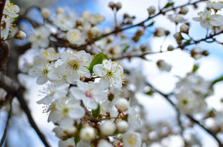White flowers on the branches of trees in the spring 免版税图像