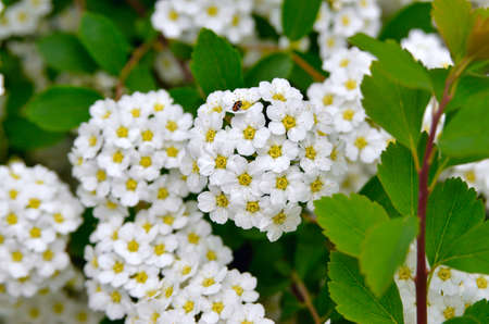 Small, white spirea flowers among green leaves on branches