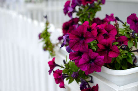 Large petunia flowers in a pot on a white fence