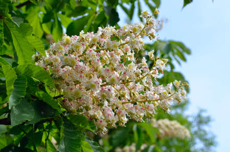 Lush white chestnut flowers among green leaves on branches