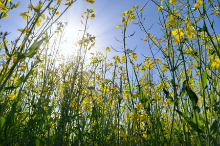 Blooming rapeseed field against a sunny sky 免版税图像