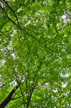 Slender trees in young forest green in summer, bottom view