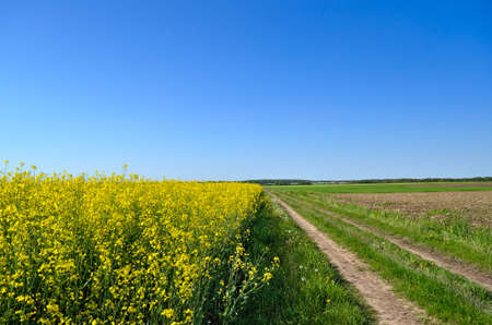 Dirt road among the blooming rapeseed field