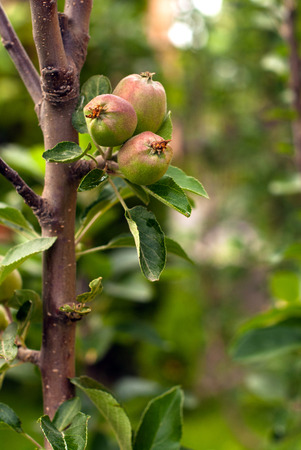 Apple orchard with focus on a group of small apples
