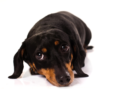 Funny little dog from the breed Dachsund, viewed from front, laid on the floor, looking on his right side with funny face, isolated on white.