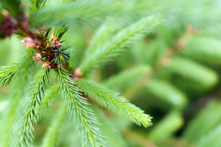 Detailed fir tree with focus on a branch ramification. Stock Photo