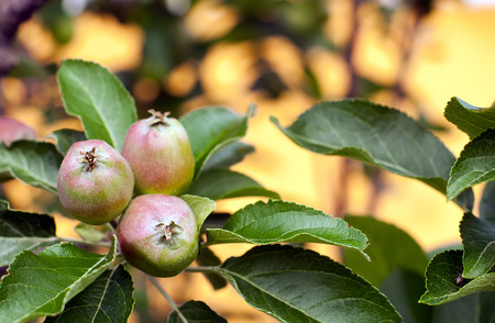 A branch of an apple tree with focus on small apples. Stock Photo