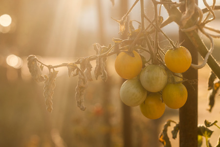 Branch of cherry tomates in the morning light in the garden