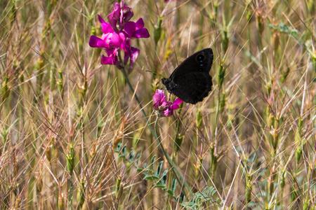 Ein schwarzer Schmetterling sitzt auf einer roten Blume, im dichten Gras. Standard-Bild - 89822522