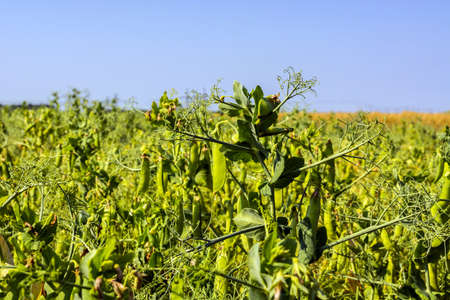 pea beans on plants, in the field, against a background of pure sunny sky