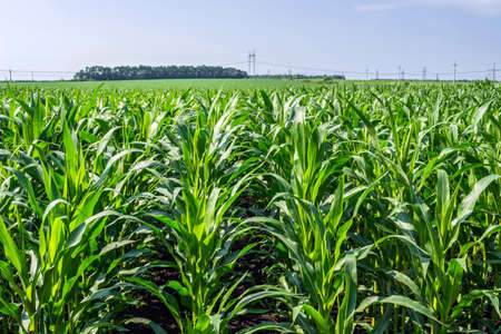 strong, even corn plants on the field, in the phase of the formation of the rock, under the sunny sky