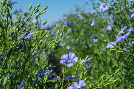 flowering, young plants of flax on the field, during harvesting, against the sky. Nearby there are beehives with bees.