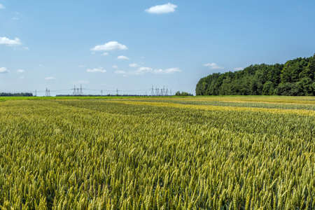 wheat ears, full of grain, on the field, against the sky and other plants