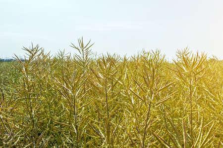 ripening harvest of high-yielding rape against a clear sunny sky