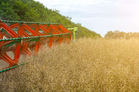 Harvester harvester collecting ripe rapeseed beans on the field.