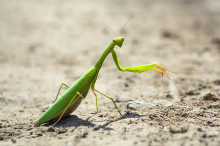 mantis crawling on a dirt road in the midday sun. Stock Photo