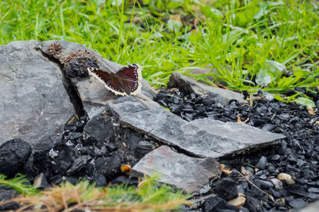 the butterfly sits on a stone, near the coals, against the background of the fire. The concept of the revival of nature after a fire. 免版税图像