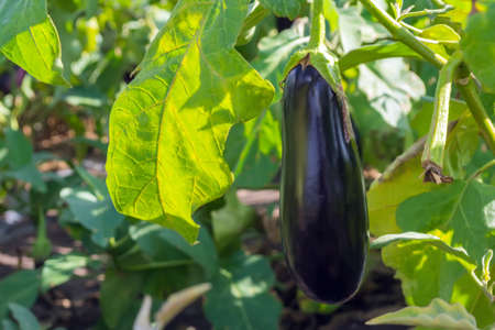 Ripe eggplant in a field hanging on a plant during harvesting.