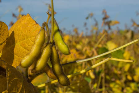 pods of genetically modified soybean during the ripening period in the field