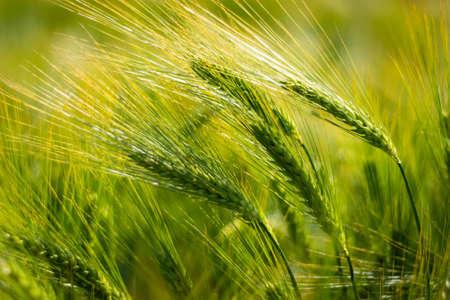 spikelets of green brewing barley in a field 版權商用圖片