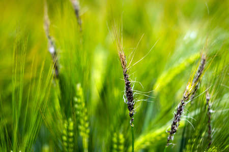fungal diseases on the ear of brewing barley