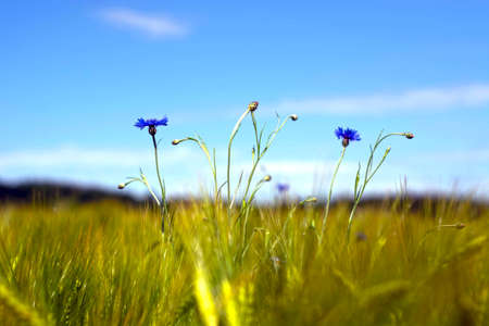 A field with cornflowers and other wildflowers Banco de Imagens